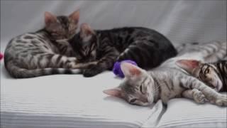 AsuraCats Kittens sleeping