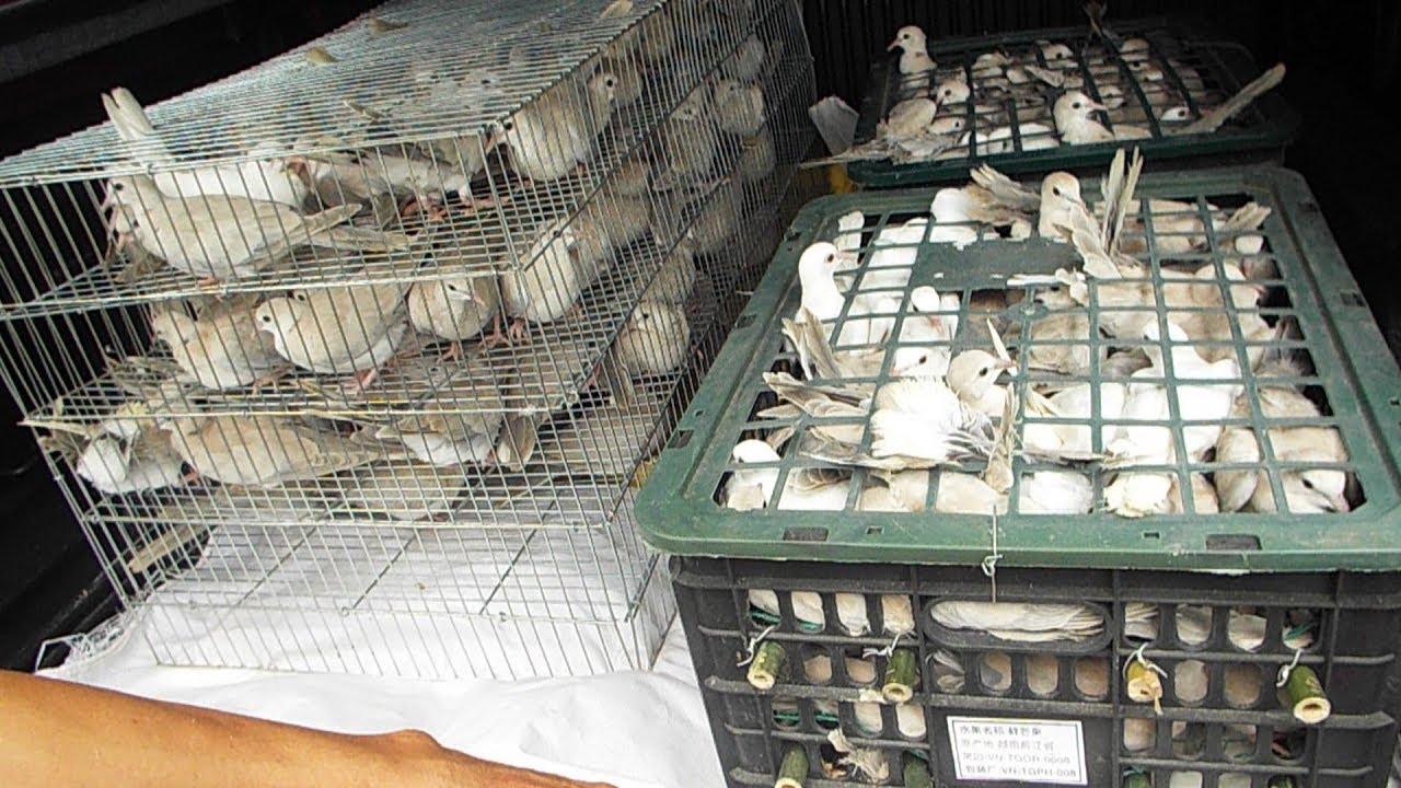 BÁn 220 con chim cu nhật pháp giống cho ng bỏ nuôi gà 2019