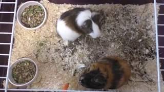 Хомки тоже болеют  Наглые крысы  Едят ли собаки морковь