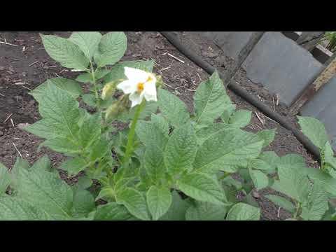 Вопрос: Картофель Императрица shy , что за сорт Какие характеристики сорта?