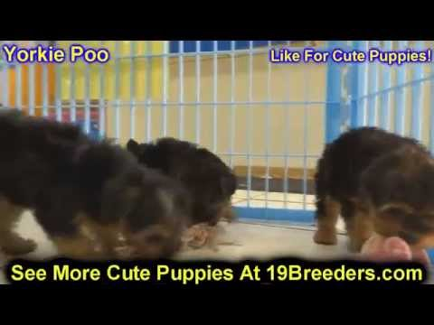 Yorkie Poo, Puppies, Dogs, For Sale, In Little Rock