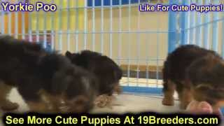 Yorkie Poo, Puppies, For, Sale, In, Tampa, Florida,fl,st Petersburg,clearwater,
