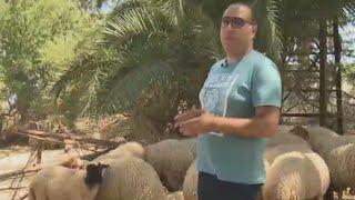 En Tunisie, des moutons bios pour l''Aïd