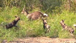 Bushbuck Tries Defending Itself From Wild Dogs