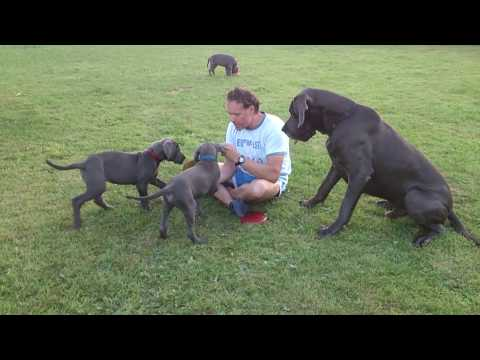 Blue Great Dane Male plays with his Puppies-Great Dane Ireland-Blue Great Dane Stud Dog