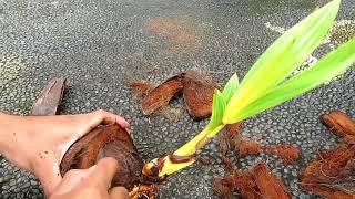 Proses membuat bonsai kelapa dari awal