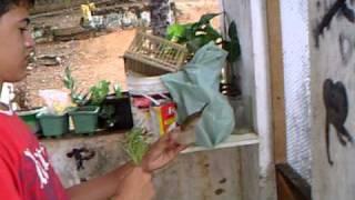 Femea de papacapim de solta