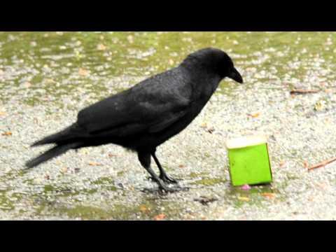 Smart Crow Vs Starbucks Box with Peanuts