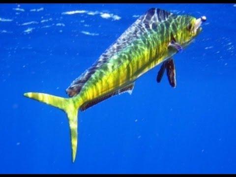 Pescaria Em Alto Mar De DOURADOS 15 PEIXES - Equipe Beluga - 22 Novembro 2012