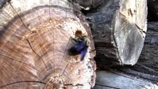 Пчела-плотник VS человек