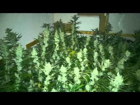 Limbo Growroom 6x600