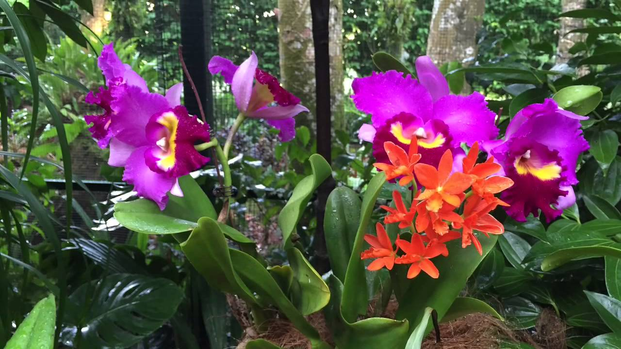 Singapore Botanic Gardens (Chinese Lunar New Year 2015 At National Orchid  Garden)   YouTube