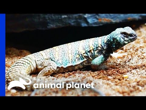 Dinosaur Themed Enclosure For Two Gorgeous Uromastyx Lizards | Scaled