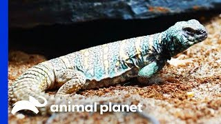 Dinosaur Themed Enclosure For Two Gorgeous Uromastyx Lizards   Scaled
