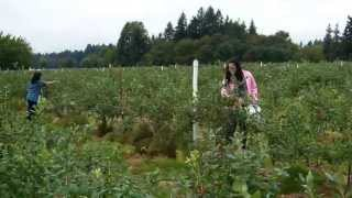 U-Pick Blueberries on an Aurora Farm 7.31.13