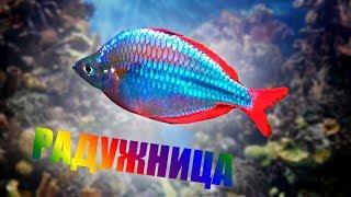 Аквариум дома  Рыбка радужница неоновая