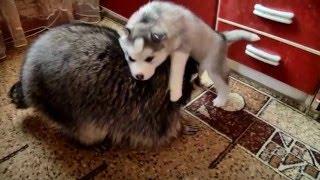 種類は違うけど仲良し!猫、子犬、アライグマによるほのぼの家族