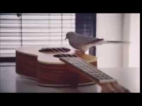 Dove (bird) playing guitar - Paloma tocando la guitarra (To Be Continued)