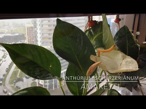 Anthurium Scherzerianum Amaretti | Антуриум Шерцера Амаретти | растение Мужское счастье |