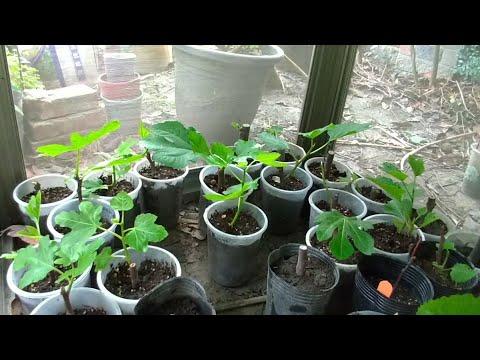 「無花果」栽培,從修剪、清洗、孵芽、扦插過程分享!