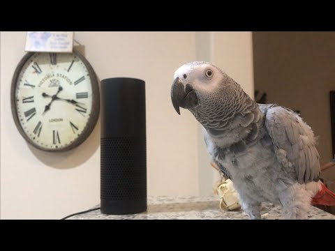 Corey Klug - Even Parrots Are Able To Talk To Alexa!