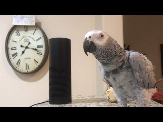 African grey parrots: Meet the African Grey Parrots who shop