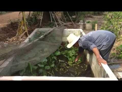 เลี้ยงปลาดุกในบ่อปูน 4 ตัวโล + วิธีทำอาหารเลี้ยงปลาใช้เอง แบบประหยัด