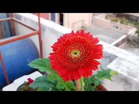 How to care for Gerbera Plant || Care of Transvaal daisy || 3rd Nov ,2017