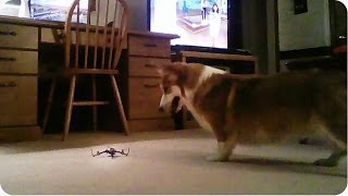 Corgi Vs. Quadcopter