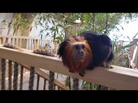 Golden-headed tamarin, Common marmoset and Red-handed tamarin in mixed enclosure