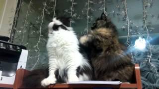 Персы, кошки