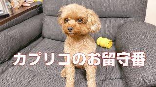 2歳になる女の子カプリコです。体重2キロ。 動画によく映ってる犬はこの...