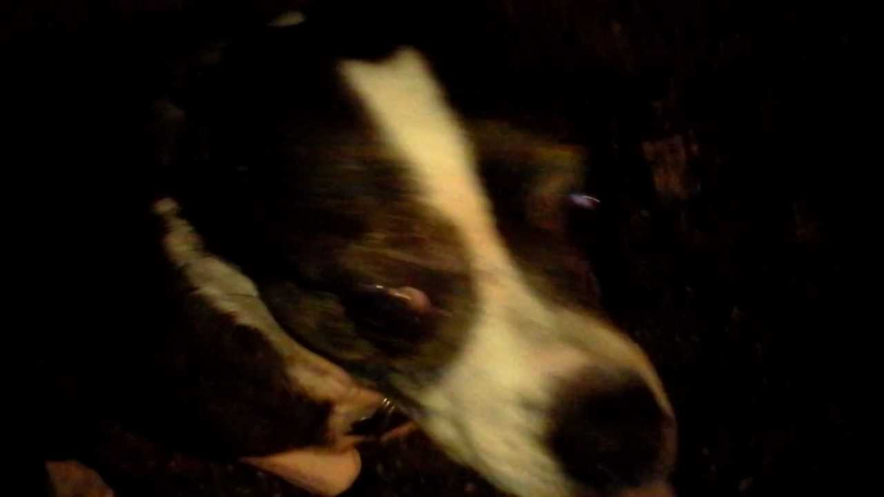 Scary Glowing Demon Eyes Dog At Night Caught On Camera