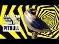 Suara Burung Rambatan Gacor Panjang Untuk Masteran Murai Batu Pitbull Ak   Mp3 - Mp4 Download