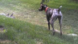 German Shorthaired Pointer & Mourning Doves - Benelli