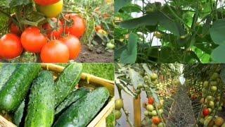 Смотреть видео выращивание огурцов и помидоров в теплице
