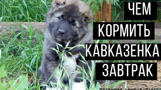 Как и чем кормить щенка кавказской овчарки: завтрак