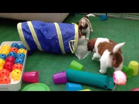 Duckhills Kooikerhondje puppies 38 days