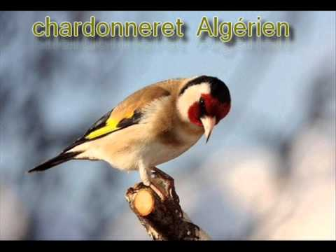 chardonneret tunisien mp3