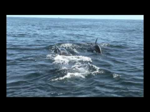 orca vs dolphin from:'killer whales'-discovery