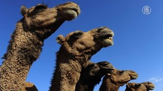 Крупнейший верблюжий рынок Египта процветает (новости)