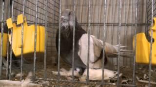 Выставка голубей Германия Hamm 2013