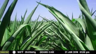An entire corn growing season in 1 minute