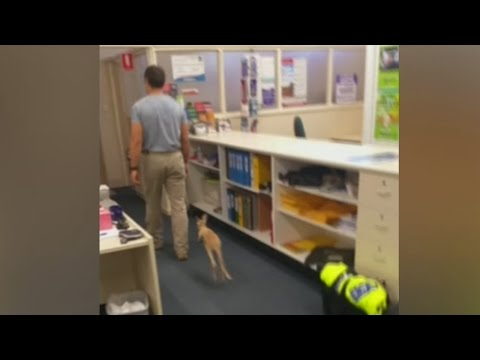 Cute baby kangaroo hops after police officer after being rescued