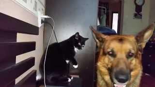 Кот играет с собакой