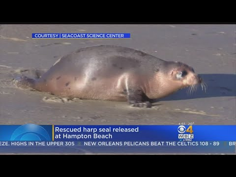 Harp Seal Released Back Into The Ocean After Rest And Rehab