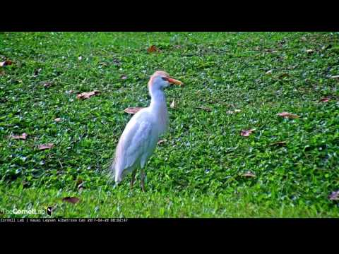 Cattle Egret – Kauai Laysan Albatross Cam – Apr. 28, 2017
