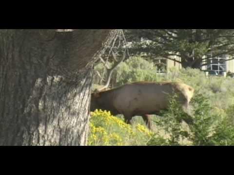 Bull#6 of North Yellowstone