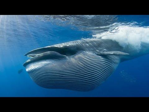 Большой Синий Кит. Невероятный Гигант Океана