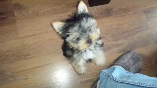 My little Yorkie begging me to take it